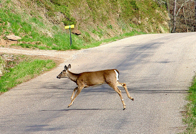 deer crossing new